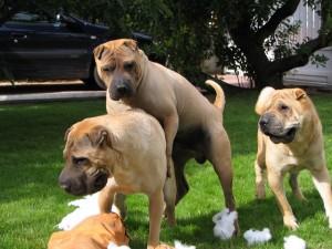 chevauchements entre chiens