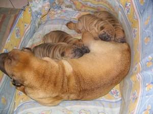 steriliser sa chienne pour éviter les portées