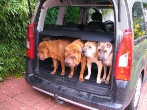 groupe de chiens en voiture