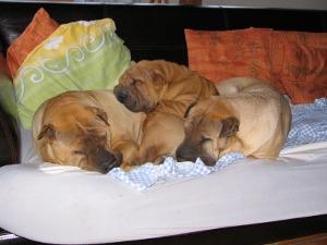 groupe de chiens sharpei couche