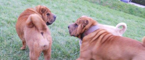 Comment l'hypothyroïdie de ma chienne a déclenché des conflits entre mes chiens