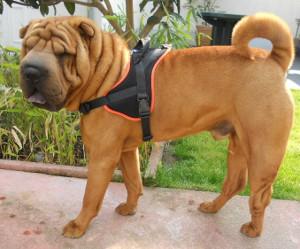 chien avec un harnais