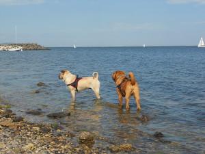 Deux shar-pei dans l'eau