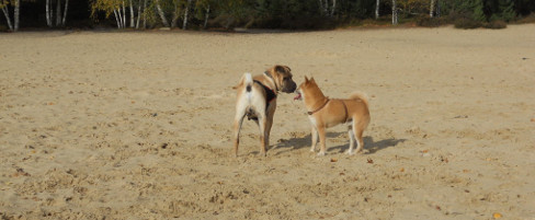 Communication canine : dialogue entre un shar-pei et un shiba