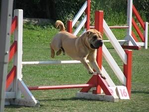 shar-pei agility