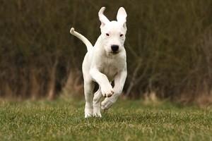 Évitez de récompenser un chiot pour un comportement que vous souhaiterez éviter quand il aura sa taille adulte ! © Dogs