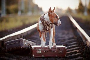 Voyager en train avec un chien au gros gabarit