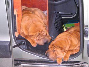 Certains chiens aiment tellement la voiture, qu'ils peuvent y leur sieste si les portières sont ouvertes!