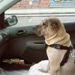 Roxy sur le chemin du bureau
