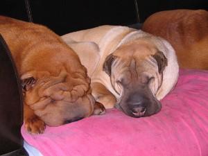 groupe de chiens sur canape