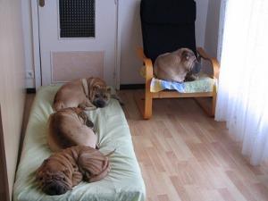 groupe de chiens shar-pei