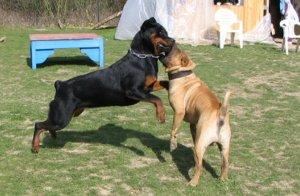 jeux de bagarre entre chiens