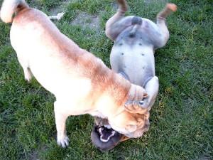 chien dominant - jeu