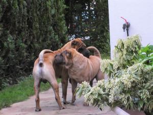 interactions sociales entre deux chiens