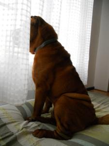 chien derriere rideaux