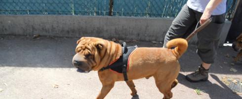 Comment promener trois chiens quand on a (que) deux bras !