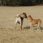 Communication canine : dialogue entre un shar-pei et un shiba