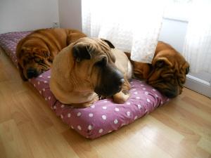 trio shar-pei