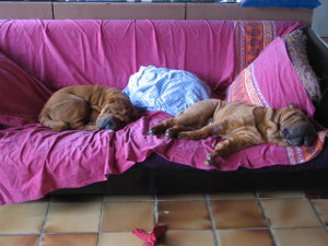 deux chiots shar-pei sur canapé