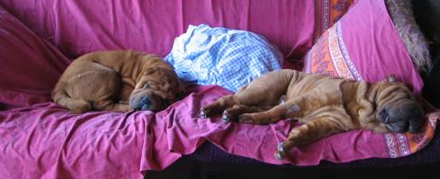 Pourquoi les chiens aiment-ils tant squatter les canapés?
