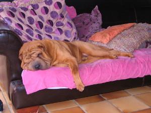shar-pei allongé sur le canapé