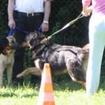 Rencontre tendue entre deux chiens (vidéo)