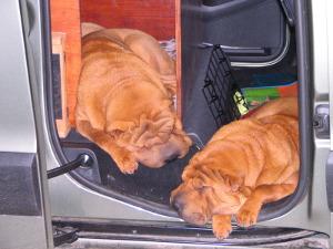 Prochain objectif : apprendre à mes chiens à dormir dans la voiture ! Ah non c'est déjà fait ;-)