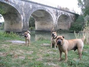 sharpei et pont