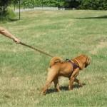Catherine Collignon : tous les chiens sont des tireurs potentiels!
