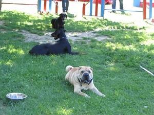 La proximité avec d'autres chiens est facilitée parfois en tournant le dos, en gérant la distance.