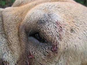 Plaies mal placées : vétérinaire !