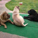 3 chiens en paix